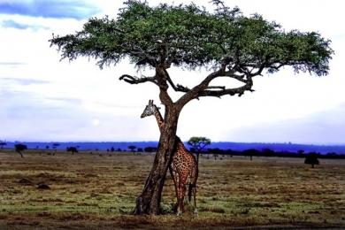 <h5>Masai-Giraffe-1100-e1451965269995.jpg</h5>