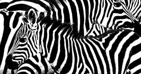 <h5>Zebras-VAL1112-e1451965153319.jpg</h5>