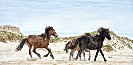 <h5>Sable-Horses-D4S3048-Canadian-Wildlife-e1451966943431.jpg</h5>