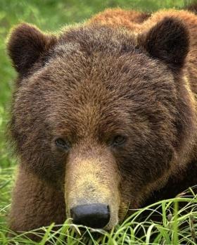 <h5>Khutzeymateen-Grizzly-Bears-_D813070-e1451965896314.jpg</h5>