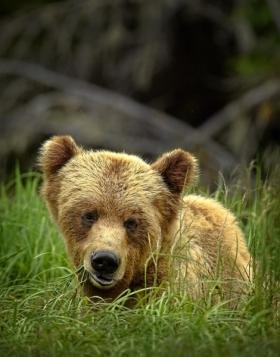 <h5>Khutzeymateen-Grizzly-Bears-_D4S2380-e1451959686424.jpg</h5>