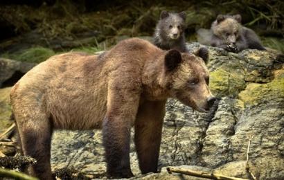 <h5>Khutzeymateen-Grizzly-Bears-_D4S18291-e1451959718703.jpg</h5>