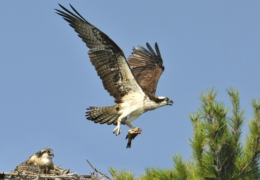 <h5>Osprey getting young to fledge 53</h5>