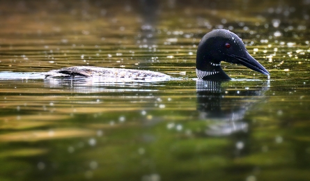 <h5>Common Loon 85689 </h5>