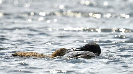 <h5>Loons feeding D810191 </h5>