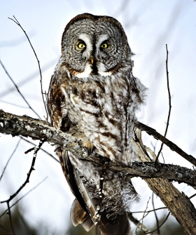 <h5>Great Gray Owl VII7092 </h5>