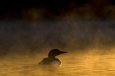 <h5>Early Morning Loon_5001448 </h5>