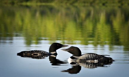 <h5>Loons 07665 </h5>