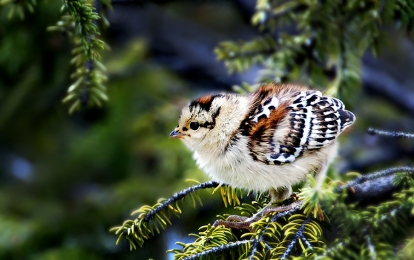 <h5>Spruce Grouse Chick V3X0397</h5>
