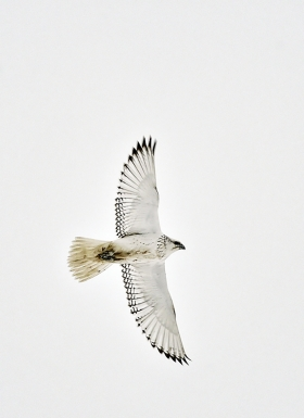 <h5>White Morphed Gyrfalcon D4S1177</h5>