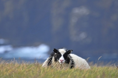 <h5>Iceland-Sheep-5007473-by-Michelle-Valberg-e1480544488905.jpg</h5>