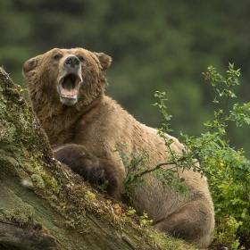 <h5>Grizzly-Yawn-D4S3007</h5>