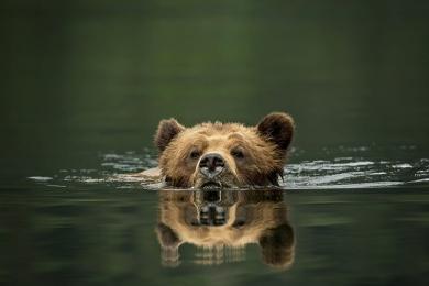 <h5>Khutz-Bear-Swim-D4S1873</h5>