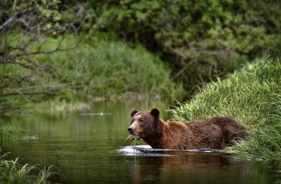<h5>Khutzeymateen-Grizzly-Bears-_D4S0379</h5>