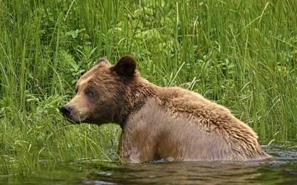 <h5>Khutzeymateen-Grizzly-Bears-_D4S0803</h5>