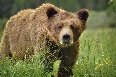 <h5>Khutzeymateen-Grizzly-Bears-_D4S0779</h5>