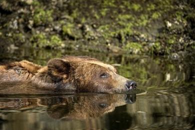 <h5>Khutzeymateen-Grizzly-Bears-_D4S1373</h5>