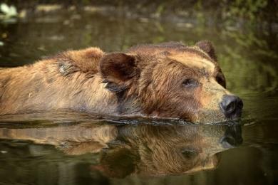 <h5>Khutzeymateen-Grizzly-Bears-_D4S1427</h5>