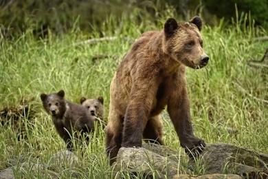 <h5>Khutzeymateen-Grizzly-Bears-_D4S1714</h5>