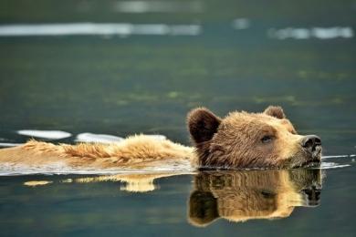 <h5>Khutzeymateen-Grizzly-Bears-_D4S1882</h5>