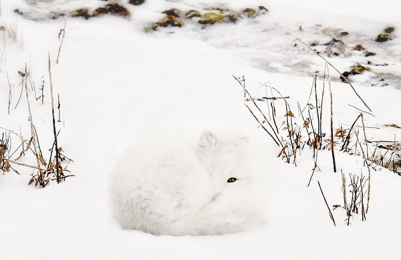 <h5>Arctic Fox 5008542 by Michelle Valberg.jpg</h5>