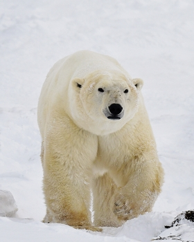 <h5>Churchill Polar Bear D5S0502 by Michelle Valberg by Michelle Valberg.jpg</h5>