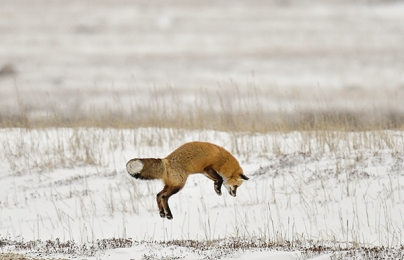 <h5>Churchill Red fox 5009199 by Michelle Valberg by Michelle Valberg.jpg</h5>