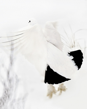 <h5>Churchill Ptarmigan 5007459 by Michelle Valberg by Michelle Valberg.jpg</h5>