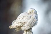 <h5>Snowy Owl D4S5357</h5>