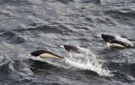 <h5>Southern Right Whale Dolphins D4S2499</h5>