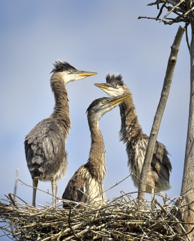 <h5>Blue Heron Chicks D4S4389</h5>