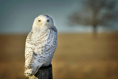 <h5>Michelle Valberg Snowy Owl 0697</h5>