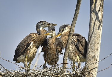 <h5>Blue Heron Chicks D4S4351</h5>