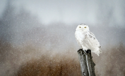 <h5>Snowy Owl 173</h5>