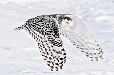 <h5>Snowy Owl 0250</h5>