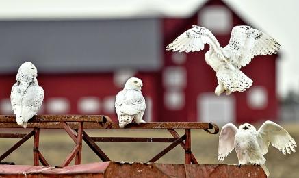 <h5>Snowy Owls_D4S5111</h5>