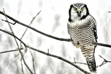 <h5>Northern Hawk Owl </h5>