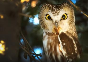 <h5>Saw Whet Owl</h5>