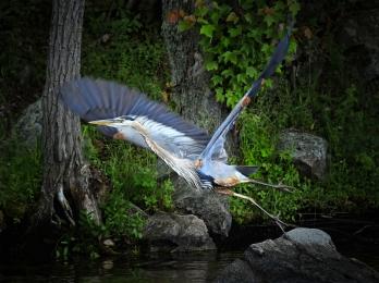 <h5>Blue Heron 3964</h5>