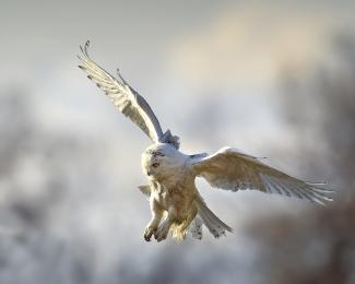 <h5>Snowy Owl D4S5468</h5>