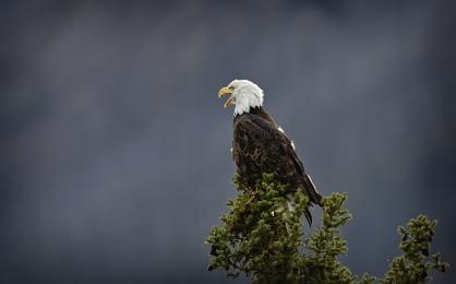 <h5>Bald Eagle D810150 </h5>