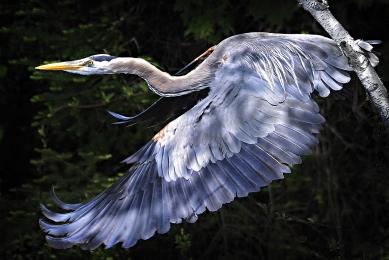 <h5>Blue Heron 203</h5>