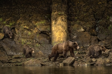 <h5>Grizzly with her 3 Cubs 0705w</h5>