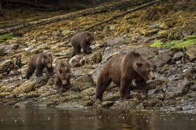 <h5>Grizzly Bear Family 0370w</h5>