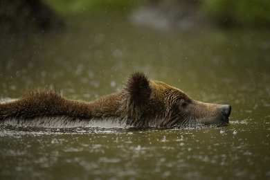 <h5>Swimming Grizzly in the Khutz 9414w</h5>
