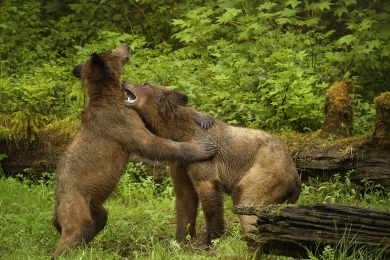 <h5>Sparring Grizzly Bears 6806w</h5>