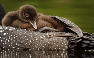 <h5>LOON CHICK 5008733</h5>