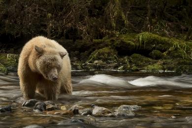 <h5>Spirit Bear _D520861</h5>