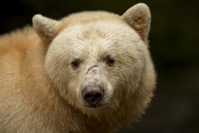 <h5>Spirit Bear MVP3822</h5>