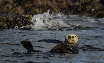 <h5>Sea Otter D854248.</h5>